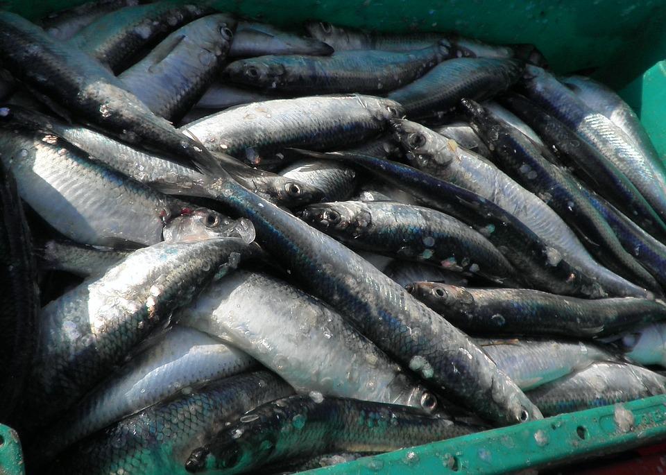 herring-1242193_960_720