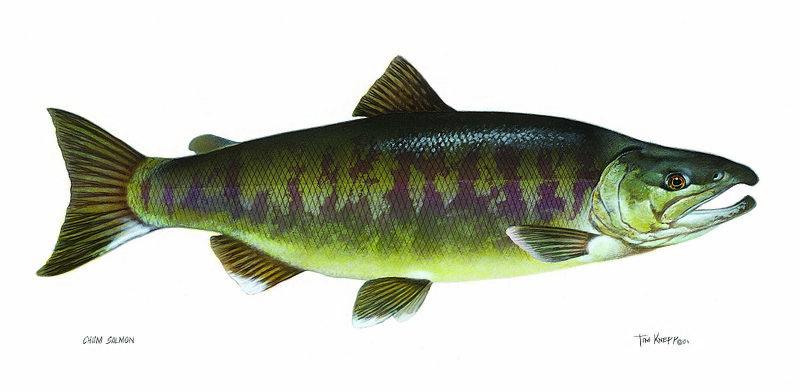 800px-salmon_chum_fish_oncorhynchus_keta