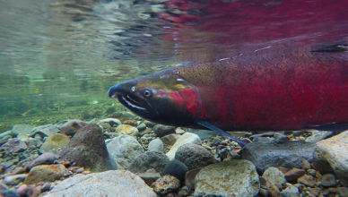 A coho salmon spawning on the salmon river.
