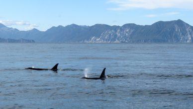 killer whales in the Salish Sea