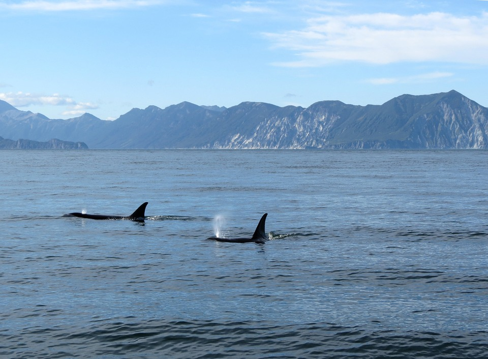 killer whales in the Salish Sea