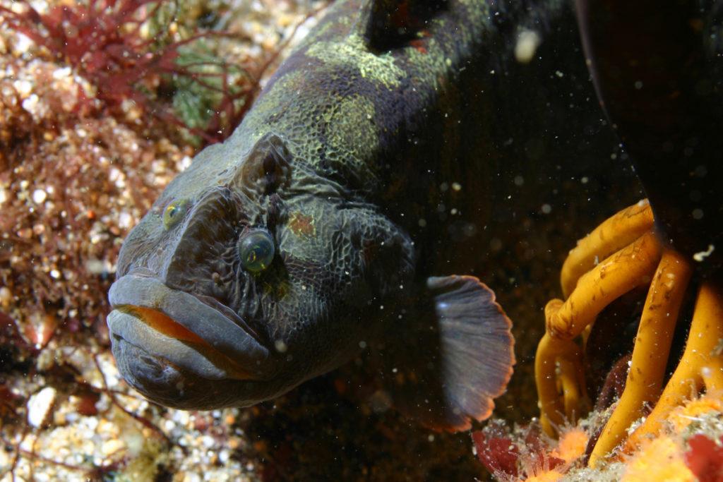monkeyfish
