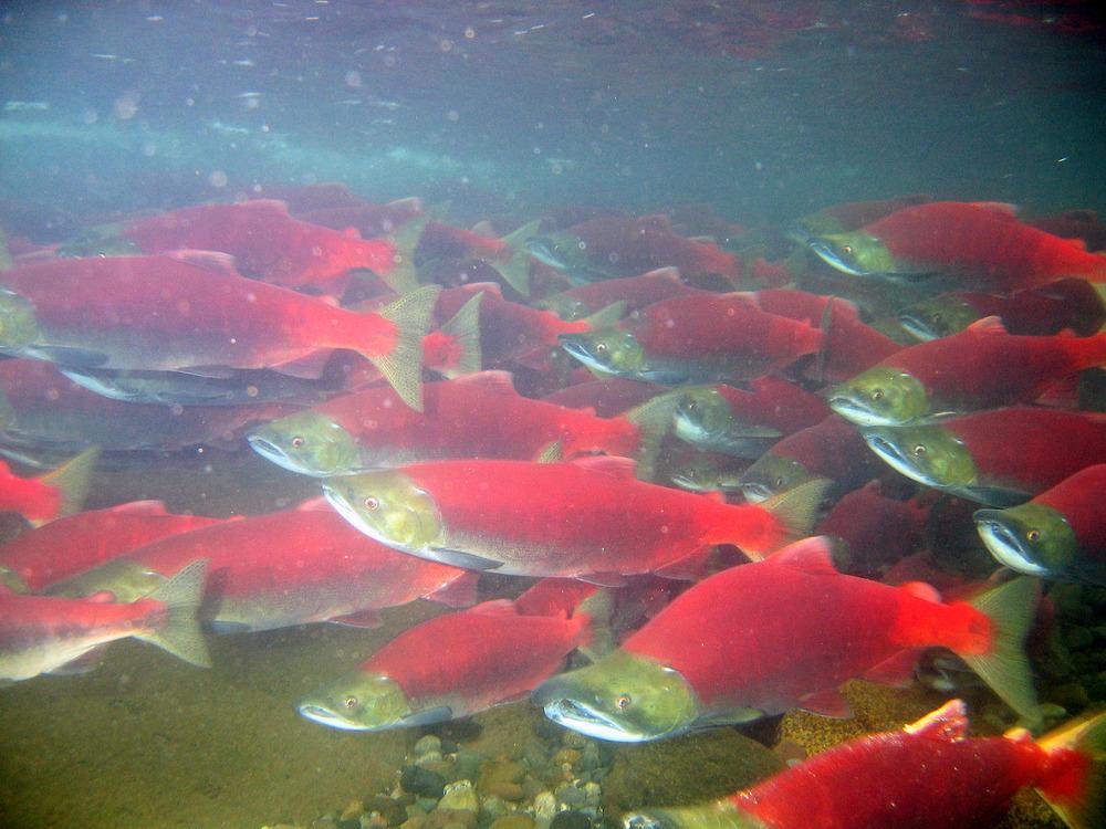 Bristol Bay Salmon